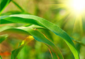 Leaves of corn — Stock Photo