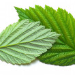 Raspberry leaf — Stock Photo