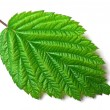 Stock Photo: Raspberry leaf on white