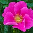 Wild rose flower — Stock Photo