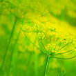 Stock Photo: Yellow dill