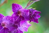 фиолетовый гладиолус — Стоковое фото