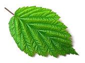 Raspberry leaf on white — Stock Photo