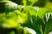 Currant leaves — Stock Photo