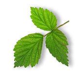 Raspberry leaves — Stock Photo