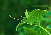 Stem of cucumber plants — Stock Photo