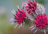Blooming burdock — Stock Photo