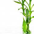 Young bamboo tree on the water — Stock Photo