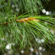The cedar — Stock Photo