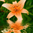 Stock Photo: Lily in a garden