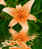 Lily in a garden — Stock Photo