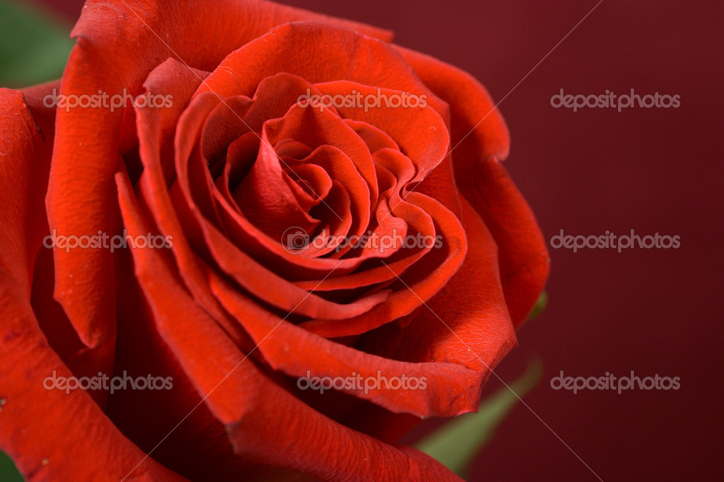 Bud of a scarlet rose close up  Stock Photo #2142348