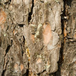 Texture from a pine bark — Stock Photo