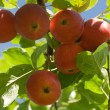 Ripe red apples on a tree — Stock Photo