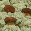 Boletus edulis. Mushrooms in a moss. — Stock Photo
