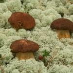 Boletus edulis. Mushrooms in a moss. — Stock Photo #2155941