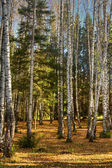 Autumn wood. fallen down foliage — Stock Photo
