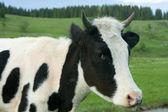 Junger stier schließen bis auf die natur — Stockfoto