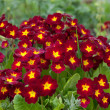 Primula. primrose. Red flower in garden — Stock Photo
