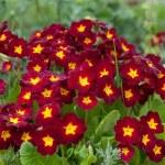 Primula. primrose. Red flower in garden — Stock Photo #2184956