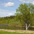 Lonely birch on the bank of the river - Stock Photo