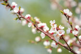 Blossom of an apple tree — Stock Photo