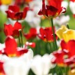 Varicolored tulips — Stock Photo