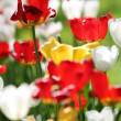 Tulip blossom — Stock Photo