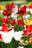 Varicolored tulips — Stock Photo