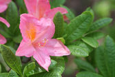 Rhododendron Hybrid — Stock Photo