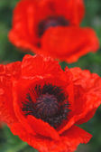Flowers, Poppy — Stock Photo