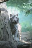 White Tiger — Stock Photo