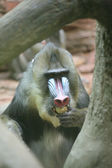 Ape Mandrill — Stock Photo