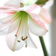 Flower to White Lily - Stock Photo