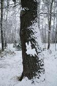 Liebres de la nieve en la madera — Foto de Stock