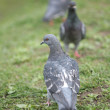Stock Photo: Motley Dove