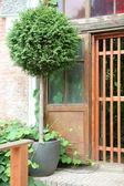 Cozy corner in Garden, Tuya in Pot — Stock Photo