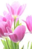 Tulips of the rose color — Stock Photo