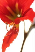Red lily on green stalk — Stock Photo