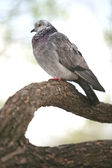 Motley Dove — Stock Photo