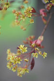 Blossom of Lime — Stock Photo