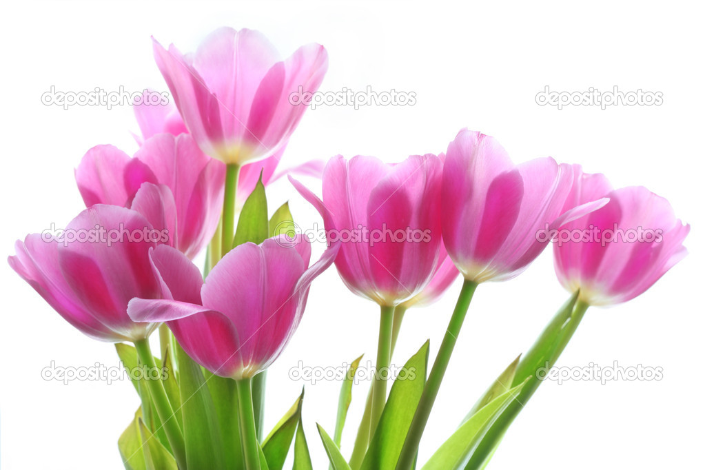 Gentile pink tulips on the white background — Stock Photo #1415462