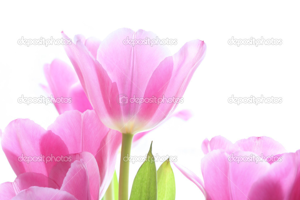 Gentile pink tulips on the white background — Stock Photo #1415470