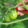 Green tomatoes - Stock Photo