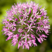 Flower, Allium aflatunense — Stock Photo