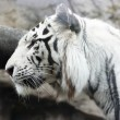 White tiger — Stock Photo #1417113
