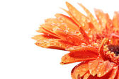 Orange gerber — Stock Photo
