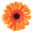 Orange daisy flower - Stock Photo