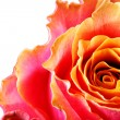 Rose — Stock Photo #1420257