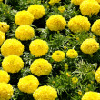 Marigolds - Stock Photo